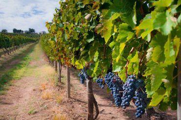 Picture for category Vino e Viticoltura
